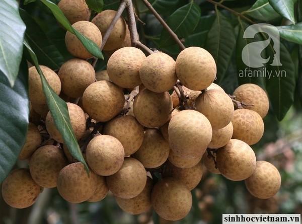 Hinh-anh-chum-cay-nhan-viet-nam (12)