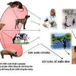Cách phòng và trị Bệnh xoắn khuẩn
