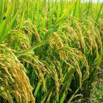 Kết quả sử dụng phân bón lá A4 cho cây lúa