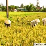 Ứng dụng chế phẩm sinh học cho cây lúa