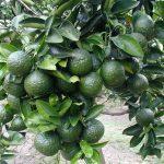 Ứng dụng chế phẩm sinh học cho cây Cam