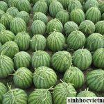 Ứng dụng chế phẩm sinh học A4 cho cây dưa hấu