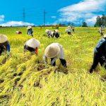 Chuyển đổi 260.000 ha đất lúa sang trồng cây màu