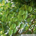 Kỹ thuật trồng và chăm sóc Xoài
