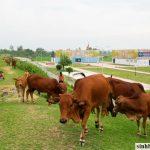 Thuốc giảm đau mới cho bò và các động vật nhai lại