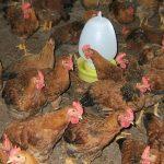 Kỹ thuật nuôi gà khép kín