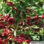 Lai tạo thành công thêm 3 dòng cà phê vối chín muộn