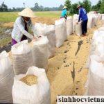 Thành lập Ban chỉ đạo chương trình trọng điểm nghiên cứu lúa gạo quốc gia