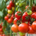 Người hùng của cây cà chua