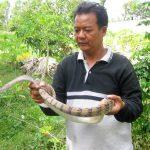 Làm giàu với mô hình nuôi rắn trong vườn