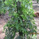 Nhu cầu dinh dưỡng cho cây Hồ Tiêu