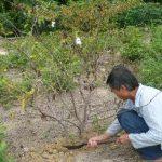 Bệnh tuyến trùng bướu rễ gây hại trên cây Ổi