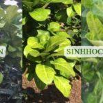Vàng lá thối rễ – Hành trình đi tìm giải pháp phục hồi bền vững