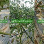 Đặc trị bệnh héo xanh (tươi) trên cây Cà Chua