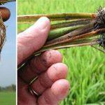 Đặc trị ngộ độc hữu cơ trên cây lúa