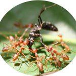 Canh tác hữu cơ: Kiến vàng thiên địch lợi hại