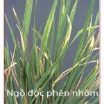 Đặc trị ngộ độc phèn cho cây lúa