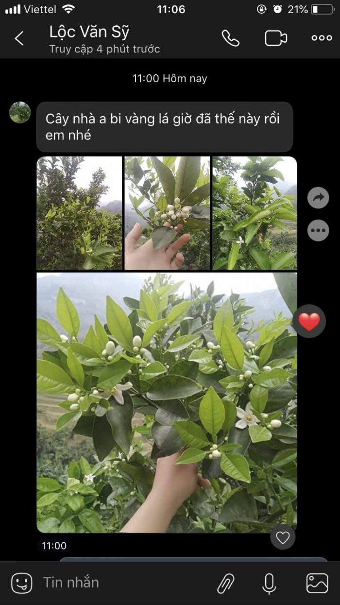 cây cam bị bệnh vàng lá sau khi được xử lý bằng nấm đối kháng
