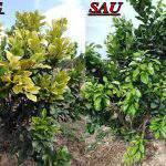 Cách đặc trị bệnh vàng lá thối rễ trên cây có múi