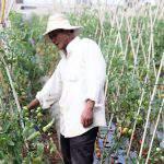 Giải pháp Phòng Trừ bệnh xoăn lá trên cây cà chua