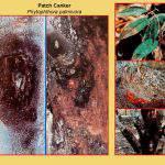 Điều trị bệnh xì mủ chảy gôm trên cây sầu riêng