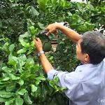 Chăm sóc vườn cây có múi sau thu hoạch.