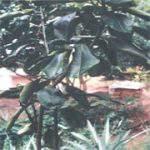 """Cách khắc phục Bệnh ngủ ngày """"héo rũ"""" trên cây có Múi"""
