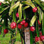 Quy trình Kỹ thuật trồng cây Thanh Long bền vững