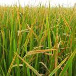 Phòng trừ bệnh Đốm nâu hại lúa Đông- Xuân