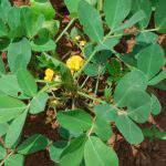 Kỹ thuật trồng cây lạc ( đậu phộng) cho năng suất cao