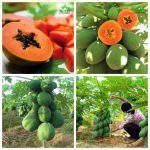Kỹ thuật trồng và chăm sóc đu đủ