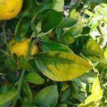 Các nguyên nhân chính gây ra hiện tượng vàng lá trên cây trồng