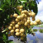 Phòng trị sâu, bệnh trong thời kỳ nuôi trái của cây nhãn?