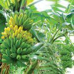 Phòng trừ các loại sâu, bệnh gây hại trên cây chuối