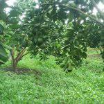 Bón phân cho cây ăn trái sau thu hoạch