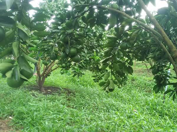 lợi ích của cỏ trong vườn cây cam, quýt, bưởi