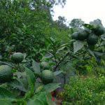 Các yếu tố dinh dưỡng quan trọng trên cây có múi