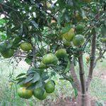 Quy trình kỹ thuật trồng và chăm sóc cây cam
