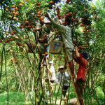 Giúp nâng cao năng suất và chất lượng cây ăn trái