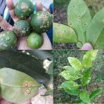 Chặn đứng lây lan và phòng trừ bệnh ghẻ trên cây có múi
