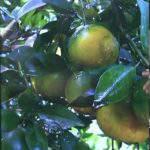 Cách phòng trừ Tristeza – bệnh vàng đít trái trên cây có múi