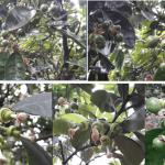 Biện pháp hạn chế hiện tượng rụng quả non trên cây có múi