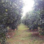 Chăm sóc cây cam từ lúc nuôi quả đến kỳ thu hoạch