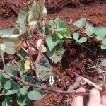 Xử lý thối thân, chết dây (héo vàng) trên cây khoai lang