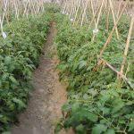 Khắc phục triệt để bệnh mốc sương ( bã trầu ) trên cây cà chua