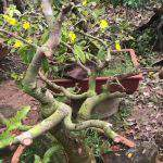 Cách phục hồi cây mai bị suy – thối rễ vàng lá