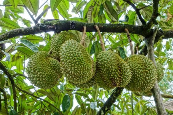 Chăm sóc cây sầu riêng