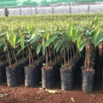 Những đặc điểm cần lưu ý khi chọn giống cây sầu riêng