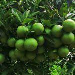 Phân bón lá sinh học A4 chuyên cây có múi