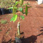 Kỹ thuật trồng cây sầu riêng